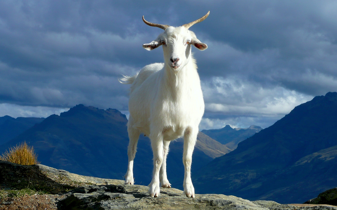 goat on a peak looking at us